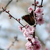 Mourning Cloak Butterfly on Purple Leaf Plum Blossoms