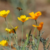 A Honey Bee with California Poppies.
