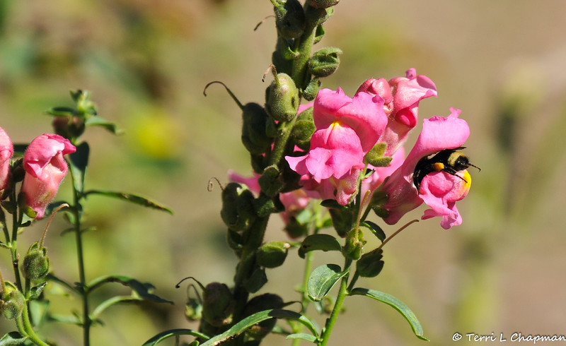 A Bumble Bee pollinating a Snapdragon