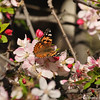 A Painted Lady Butterfly sipping nectar from a Cherry blossom