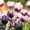2017 Tulip display at Descanso Gardens