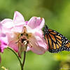 A female Monarch Butterfly drying her wings on an Iceberg rose. This beautiful Monarch was born in my garden on May 2, 2015.
