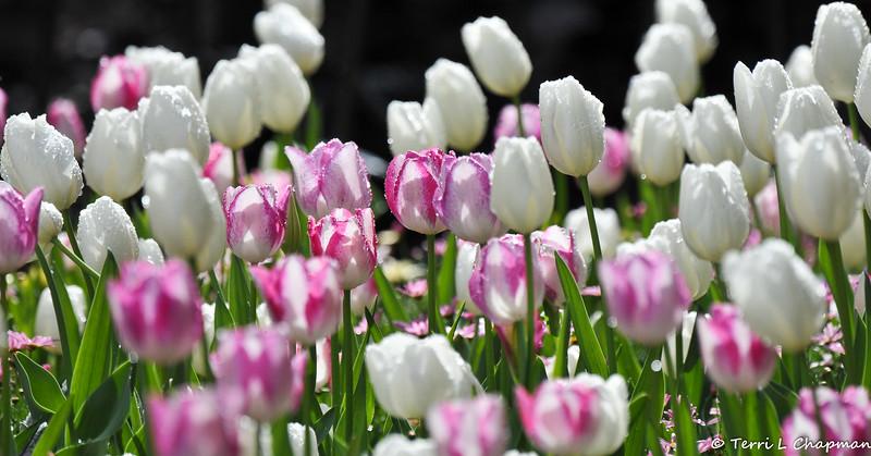 2018 Tulip display at Descanso Gardens, in La Canada, California.