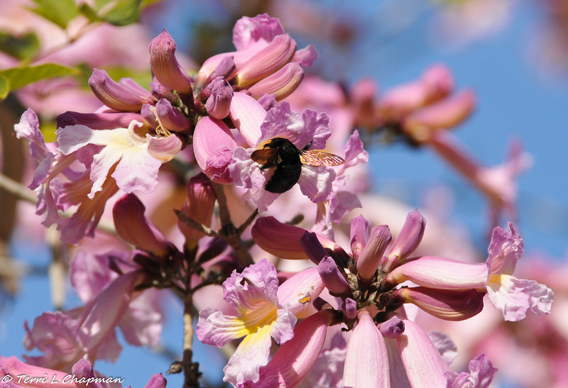 Carpenter Bee in Pink trumpet tree
