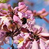 Carpenter Bee in Pink trumpet tree