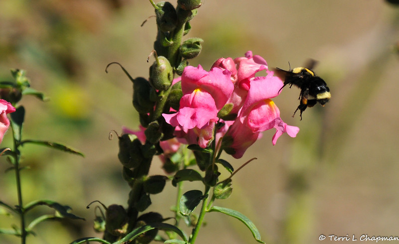 A Bumble Bee flying away from a Snapdragon
