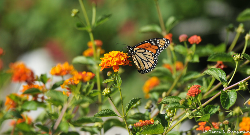 A male Monarch sipping nectar from a Lantana bloom