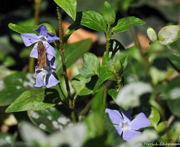 An Umber Skipper sipping nectar from a Vinca bloom