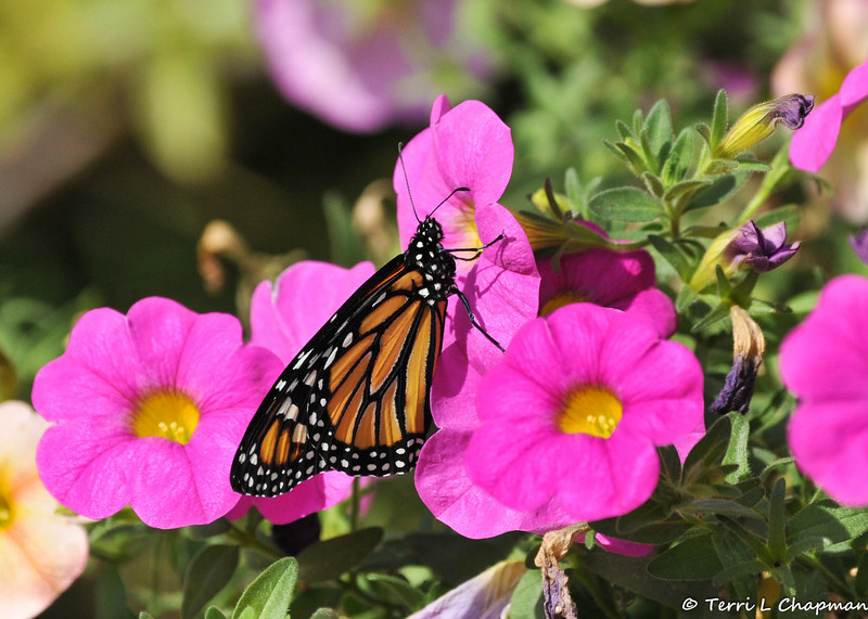 A male Monarch Butterfly resting on a Petunia bloom before he takes his first flight. This butterfly was born January 17, 2016 and was my 1,112th Monarch raised and released into my garden.