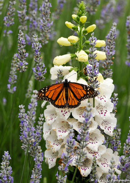 A male Monarch Butterfly sipping nectar from a Foxglove bloom that is surrounded by Lavender. If you look closely, there is a Honey Bee above the right wing of the Monarch.