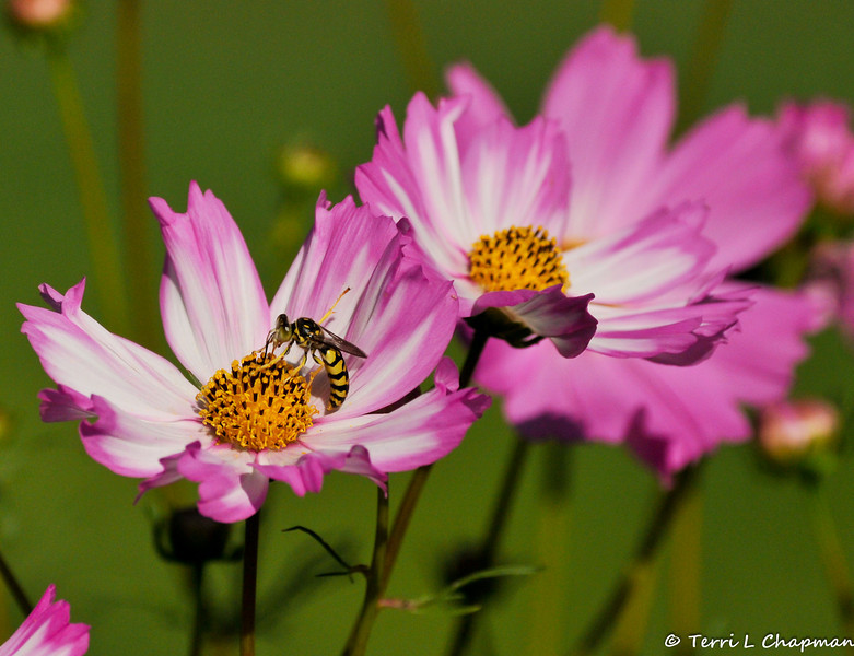 A Wasp on a Cosmos Flower