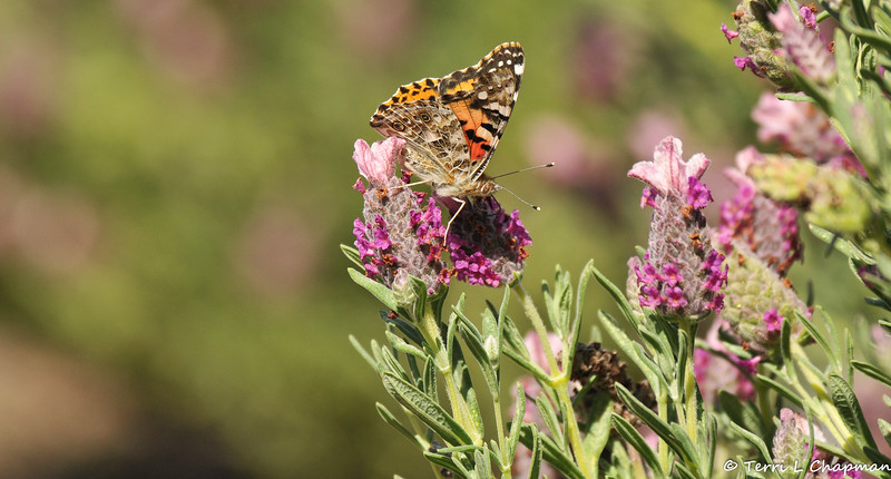 A Painted Lady Butterfly sipping nectar from blooming lavendar