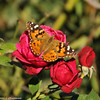 A Painted Lady sipping nectar from a red rose