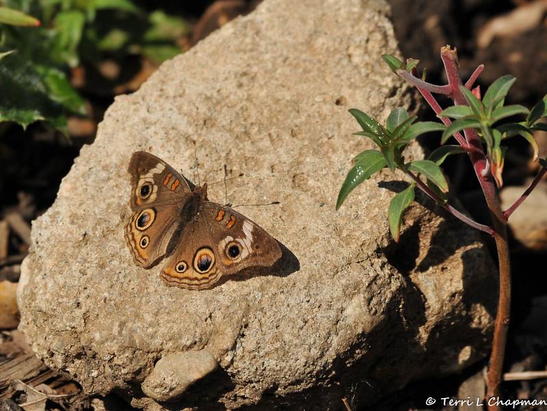 A Common Buckeye Butterfly sunning on a rock