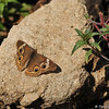 A Common Buckeye Butterfly sunning on a rock