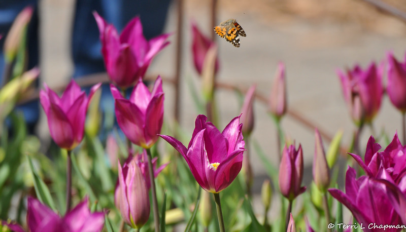 A Painted Lady Butterfly flying over the blooming Tulips at Descanso Gardens - March 2019
