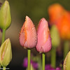 2012 Spring Tulip display at Descanso Gardens in La Canada, CA