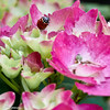 A 7-spotted Ladybug on a Hydrangea