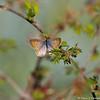A Marine Blue Butterfly on a Baja Fairy Duster bloom