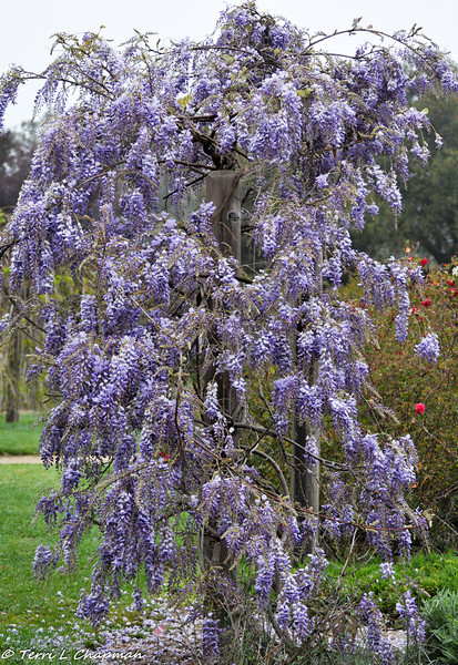 A blooming Wisteria at Descanso Gardens in La Canada, CA