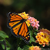 A beautiful male Monarch Butterfly, sipping nectar from Lantana blooms, before he takes his first flight. This Monarch was born in my garden on May 8, 2015, but the weather was cold that day, so he stayed safe in his mesh castle until the weather warmed up and then he was released.