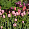 2013 Spring Tulip display at Descanso Gardens