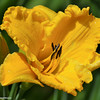 Hemerocallis - Bill Norris Day Lily
