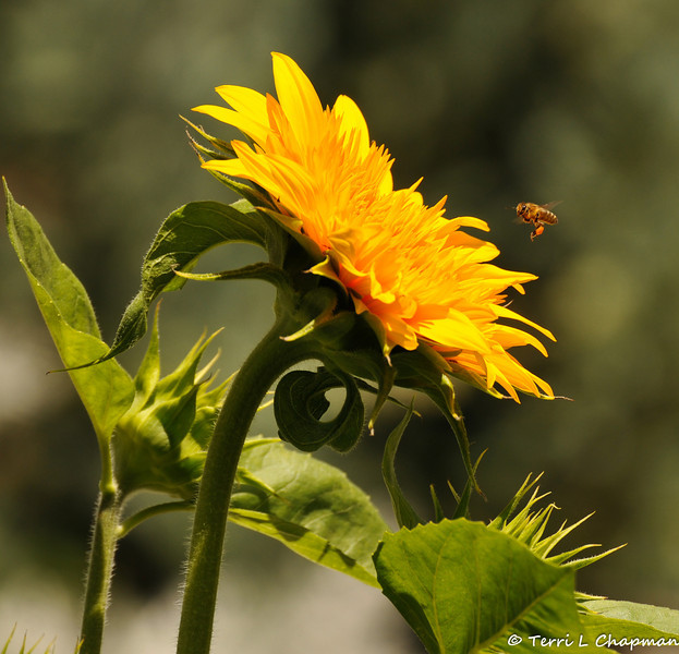 A Honey Bee in flight to a Sunflower