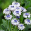 Globularia amygdalifolia