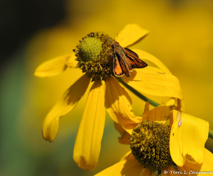 A Fiery Skipper sipping nectar from a Coneflower