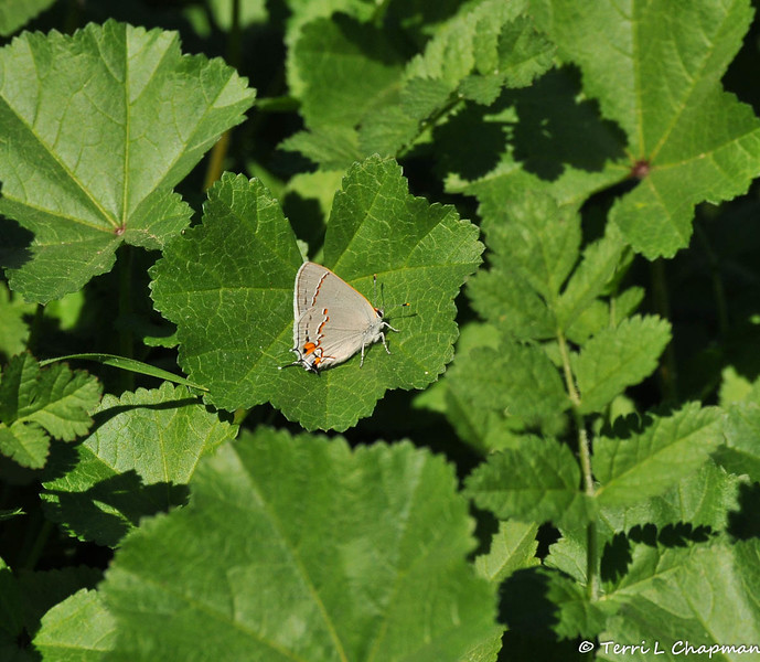A Gray Hairstreak butterfly  resting on Cheeseweed, which is a common host plant for the female Painted Lady butterfly to lay eggs on.