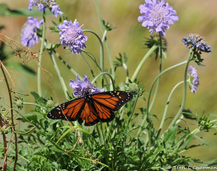 A male Monarch butterfly sipping nectar from a Pincushion flower