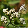 A Checkered White Butterfly on a Sedum plant