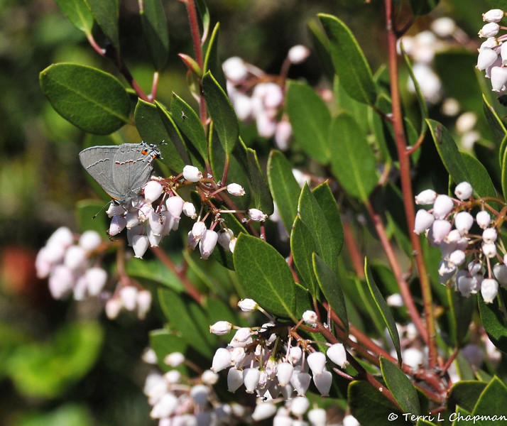 "A Gray Hairstreak butterfly on a ""White Lantern"" plant"