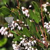 "A Gray Hairstreak butterfly on a ""White Lantern"" plant"