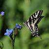 A Western Tiger Swallowtail