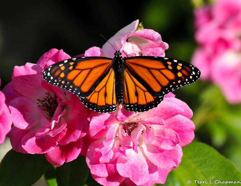 A male Monarch butterfly resting on Iceberg roses