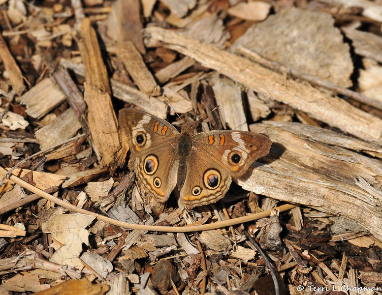 A Common Buckeye Butterfly sunning itself