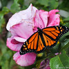 "A beautiful male Monarch Butterfly, resting on a ""Plum Crazy"" rose, before he takes his first flight. This Monarch was born in my garden on May 8, 2015, but the weather was cold that day, so he stayed safe in his mesh castle until the weather warmed up and then he was released."