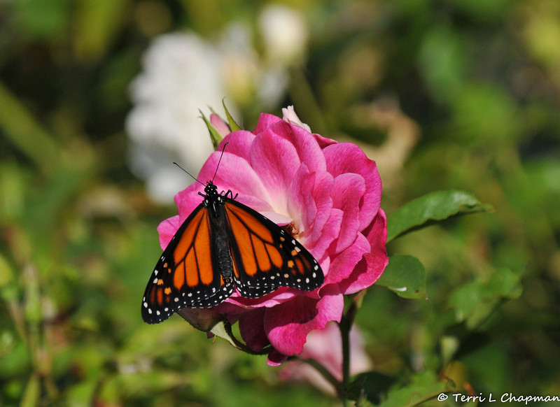 A male Monarch resting on an Iceberg rose