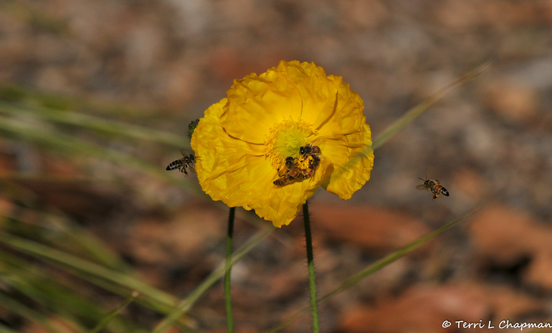 Honey Bee's pollinating an Iceland Poppy