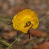 Honey Bee's pollinating an Iceland Poppy