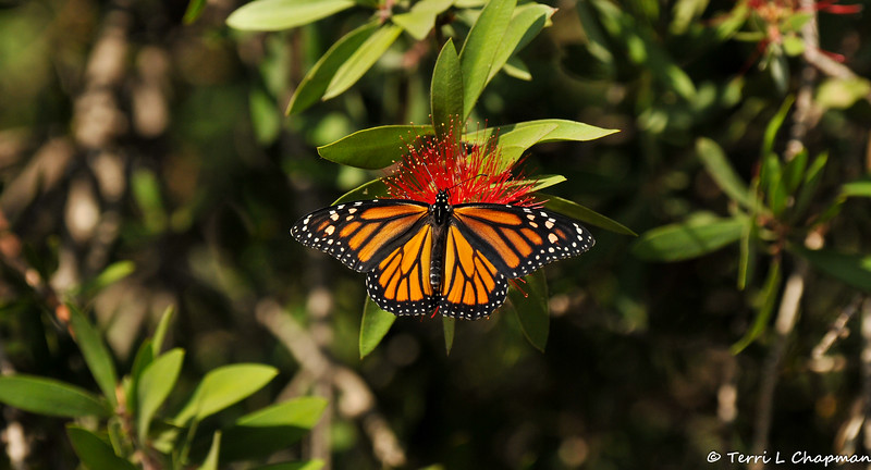 A female Monarch sipping nectar from a Bottle Brush bloom.