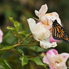 "A male Monarch butterfly resting on an ""iceberg"" floribunda rose in my garden. This butterfly had just emerged from his chrysalis and was drying his wings in the sun."