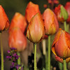 2013 Spring Tulip display at Descanso Gardens in La Canada, CA.