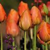 2013 Spring Tulip display at Descanso Gardens in La Canada, CA.