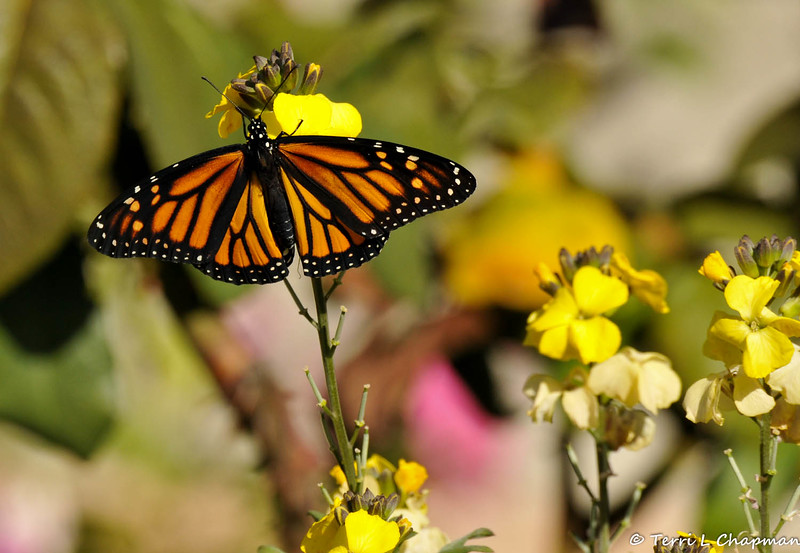 A female Monarch butterfly in my garden, that had just emerged from her chrysalis, and was spreading her wings in the sun.