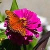 A Gulf Fritillary Butterfly sipping nectar from a Zinnia flower