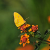 A Cloudless Sulphur Butterfly sipping nectar from a Lantana flower