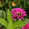 An Umber Skipper Butterfly sipping nectar from a Zinnia. There is a Fiery Skipper Butterfly flying by in the background.